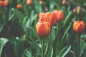 Flowers Garden Orange Tulips
