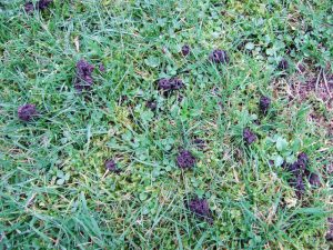 DIY Lawn Pest Control