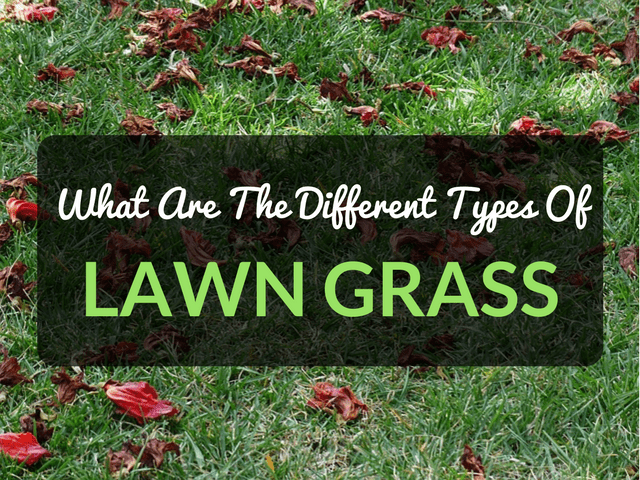Types Lawn Grass